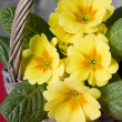 Primrose in a basket - Stock Photo