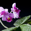 Orchid phalaenopsis hybrid over black - Stock Photo