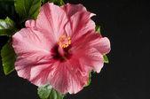 Beautiful pink hibiscus flower over black — Stock Photo