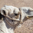 Arabian camel head - Stock Photo
