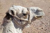 Arabian camel head — Stock Photo