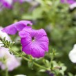 Beautiful petunia — Stock Photo #6123523