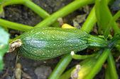 Zucchini in vegetable garde — Stock Photo