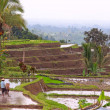 Stock Photo: Balinese terraced rice field