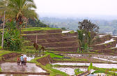 Balinese terraced rice field — Stock Photo