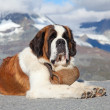 St. Bernard Dog — Stockfoto