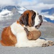 St. Bernard Dog with keg — Stock Photo