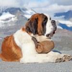 St. bernard hond met vat — Stockfoto