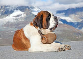 St. Bernard Dog with keg — Stock Photo
