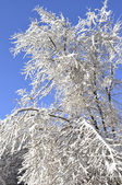 Trees covered with snow — Stockfoto