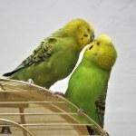 Cute budgerigars — Stock Photo #5930724