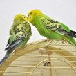 Cute budgerigars - 图库照片
