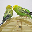 Cute budgerigars — 图库照片
