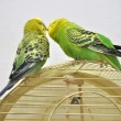 Cute budgerigars - Stockfoto