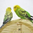 Cute budgerigars - Foto Stock
