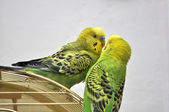 Cute budgerigars — Stockfoto