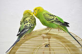 Cute budgerigars — Photo