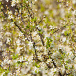 Blossoming spring tree — Stock Photo #6189263
