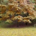 Autumn tree with yellow foliage — Stock Photo