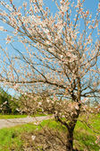 Blossoming spring tree — Stock Photo