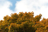 Autumn tree with yellow foliage on a background of the blue sky — Stok fotoğraf