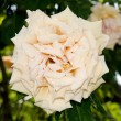 Blossom a cream rose — Stock Photo