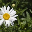 Camomile with dew 2 — Stock Photo