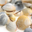 Stock Photo: Cockleshells set