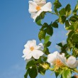 Flowers of a dogrose - Stock Photo