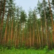 Forest — Stock Photo #6192898