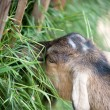 Goat eating grass — Stock Photo #6193365