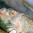 Iguana - Stock Photo