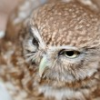 Owl. A predatory night bird with the big round head, greater eyes and with — Stock Photo