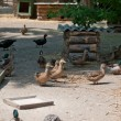 Stock Photo: Poultry yard