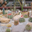 Stock Photo: Cactus set