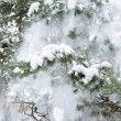 Snow on a fur-tree — Stock Photo