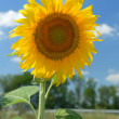 Sunflower and sky — Stock Photo #6197756