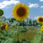 Sunflower — Stock Photo #6197757