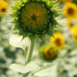 Sunflower not blooming — Stock Photo #6197764