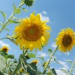 Sunflower — Stock Photo #6197767