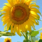 Sunflower — Stock Photo #6197773