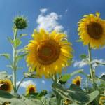 Sunflower — Stock Photo #6197777
