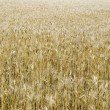 The big field of ripened wheat - Stock Photo
