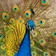Peacock — Stock Photo #6198651