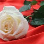 Rose on satin — Stock Photo #6199300