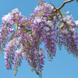 Wisteria — Stock Photo #6199420