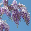 Wisteria - Stock Photo