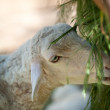 Sheep — Stock Photo #6199868