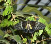 Black butterflies — Stockfoto