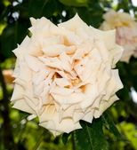 Blossom a cream rose — 图库照片